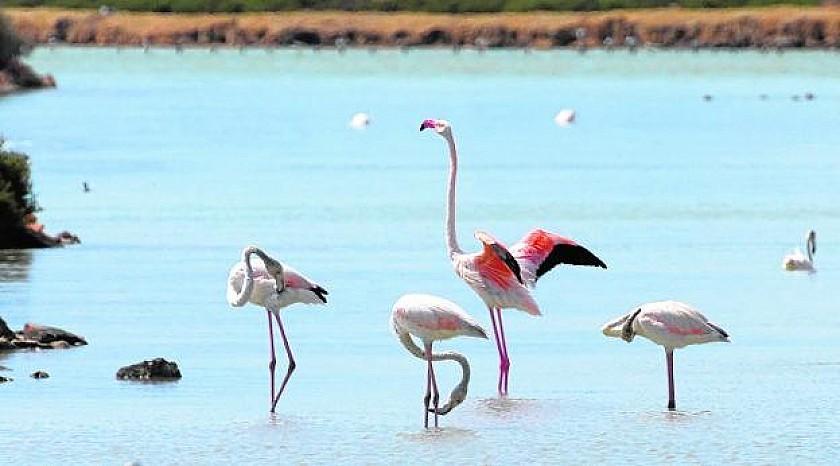 Babyboom Flamingos on Costa Blanca & Calida in Medvilla Spanje